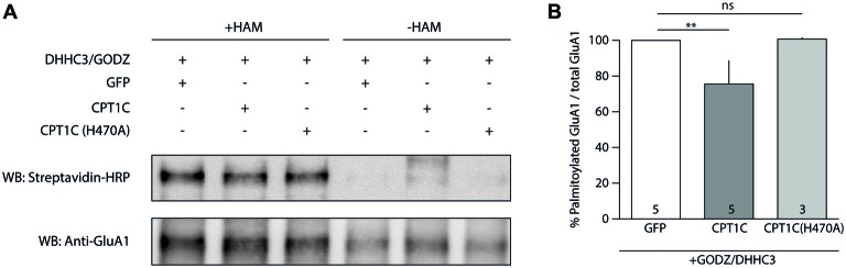 CPT1C acts as depalmitoylating enzyme of GluA1. (A) Palmitoylation levels detected with Acyl-Biotin Exchange (ABE) assay of GluA1 alone (GFP), or together with CPT1C-GFP or CPT1C(H470A) in HEK293AD-GluA1 expressing cells transfected with DHHC3/GODZ palmitoylating enzyme. The biotinylated GluA1 immunoprecipitates subsequent to the ABE assay for all conditions were subjected to SDS-PAGE. Palmitoylation of GluA1 subunit is detected only in plus-hydroxylamine (+HAM) samples (three lanes from the left). −HAM samples control non-specific incorporation of biotin (three lanes from the right). GluA1 palmitoylation levels (right top) were detected by Western blotting with streptavidin-HRP (palmitoylation). The total amount of immunoprecipitated GluA1 was detected by Western blotting with anti-GluA1-NT antibody (anti-GluA1, bottom) after stripping the membranes. (B) Quantification of palmitoylation levels for GluA1 alone (GFP), together with CPT1C or CPT1C(H470A) in HEK293AD cells constitutively expressing GluA1. Ratio of palmitoylated GluA1 to total GluA1 is shown as mean and S.E.M. (** p