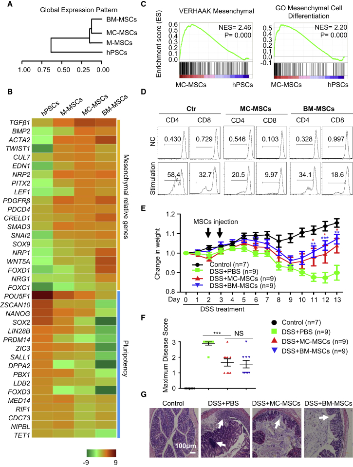 MC-MSCs Resemble BM-MSCs and Are Functional (A) Hierarchical clustering analysis of hPSCs (H1 hESCs), M-MSCs, MC-MSCs, BM-MSCs. (B) Heatmap illustrating expression of mesenchymal development/differentiation and pluripotency-associated genes for hPSCs (H1 hESCs), M-MSCs, MC-MSCs, BM-MSCs. (C) GSEA comparing MC-MSCs and hPSCs (H1 hESCs). The NES and p values are shown. (D) The sorted CD3 + T lymphocytes were stimulated with plate-bound anti-CD3 antibody and anti-CD28 antibody or with Molecular Probes sulfate latex for 72 hr. Then, the lymphocytes were stained with anti-CD4 or anti-CD8 antibodies for CFSE dilution analysis. One of three independent experiments is shown. Ctr, control. (E) Mice were given untreated drinking water (control) or 2% DSS in drinking water (DSS) for 6 days ( Wang et al., 2016 ). Then, all mice were given untreated drinking water for the next 7 days. On days 2 and 3, mice treated with DSS were injected intraperitoneally (i.p.) with PBS, MC-MSCs or BM-MSCs. The control group mice were injected i.p. with PBS. The change in body weight of mice was measured. Data are analyzed by multiple t test and shown as mean ± SEM (N = 3). ∗ p