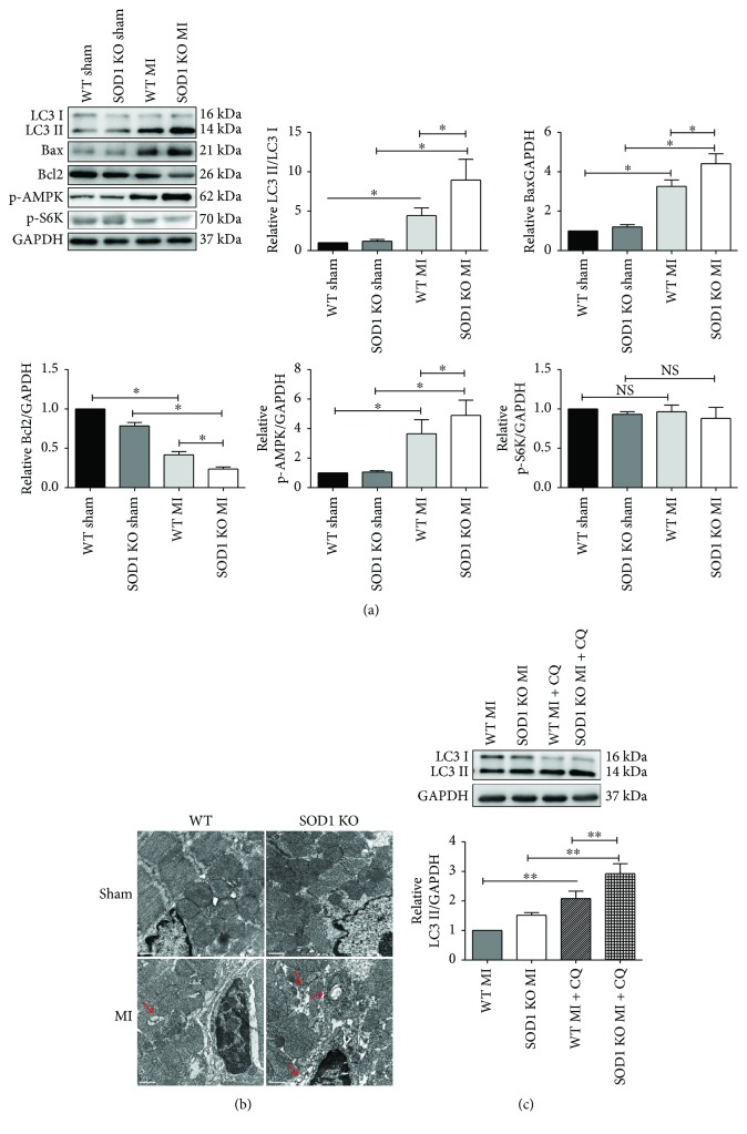 SOD1 KO mice showed enhanced autophagy levels in ischemic myocardium. (a) Representative blots of LC3II/LC3I, Bax, Bcl2, and S6K phosphorylation and AMPK phosphorylation and quantitative analysis of LC3II/LC3I, Bax, Bcl2, p-S6K, and p-AMPK. (b) Representative images of TEM results are shown. Red arrows indicate autophagic vacuoles. Scale bar = 0.5 μ m. (c) Myocardium LC3 detection with the presence of 40 mg/kg chloroquine. Representative blots and quantitative analysis of LC3II/GAPDH are shown. Values are mean ± SE, n = 6 in each group. ∗ p