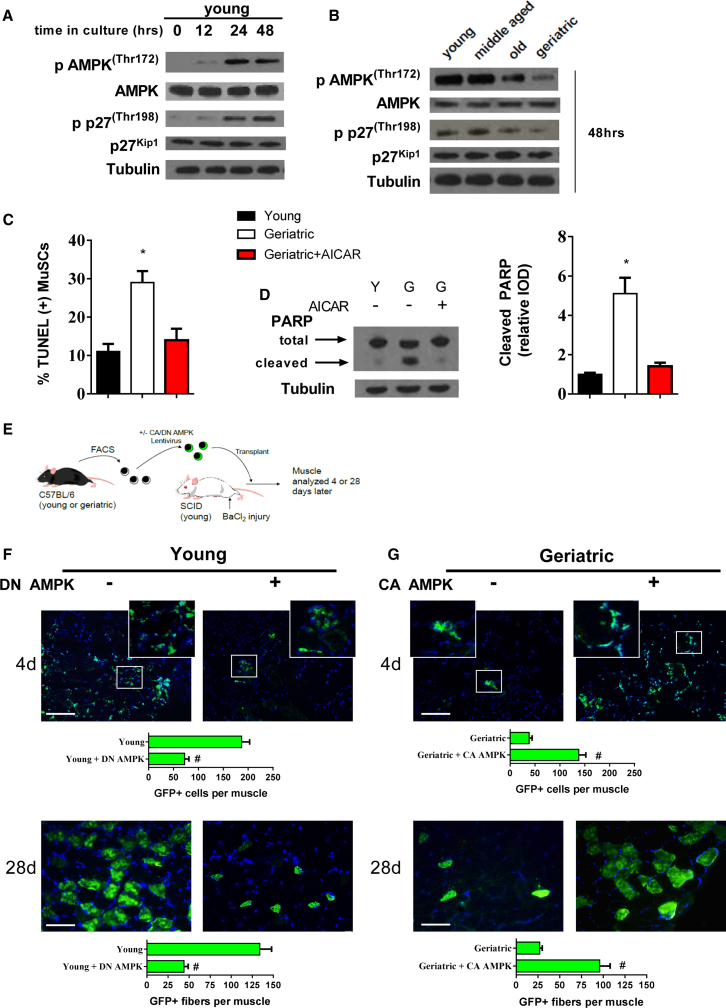 Restored AMPK Activation Rescues Inherent Apoptotic Susceptibility in Geriatric MuSCs (A) Phosphorylated and total protein expression of young MuSC AMPK and p27 Kip1 throughout 48 hr in culture. (B) Phosphorylated and total protein expression of AMPK and p27 Kip1 at 48 hr in culture across different ages. (C) TUNEL-positive cells in young, geriatric and geriatric MuSCs treated with AICAR (N = 3 independent experiments). (D). Left: representative blot of total and cleaved PARP; right: quantification of cleaved PARP protein expression normalized to young cells (N = 3 independent experiments). (E) Young and geriatric MuSCs infected with respective AMPK lentivirus, transplanted into injured SCID muscle and quantified 4 or 28 days later. (F and G) Upper: young GFP-labeled MuSCs overexpressing GFP control or a dominant-negative (DN) AMPK 4 days; lower: 28 days after transplantation (N = 5 independent experiments) (F). Upper: geriatric GFP-labeled MuSCs overexpressing GFP control or constitutively active (CA) AMPK 4 days; lower: 28 days after transplantation. Quantification includes counts of GFP(+) cells (4d) or myofibers (28d) per muscle (N = 5 independent experiments) (G). ∗ Signifies difference from young cells; # signifies difference from GFP control transplanted cells (p