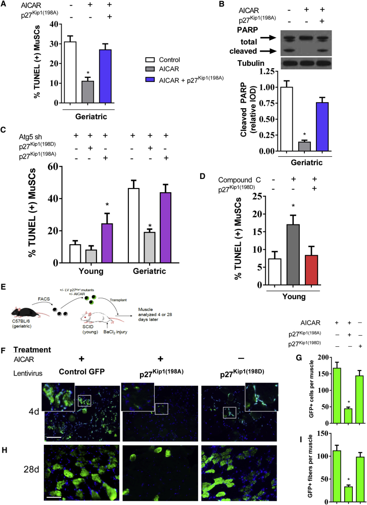 AMPK/p27 Kip1 Signaling Mediates Cell Survival in the MuSC Geriatric MuSCs were cultured for 48 hr treated with or without AICAR and/or overexpression of p27 Kip1 mutant-p27 Kip1(198A) . (A) Percentage of TUNEL-positive cells with respective treatment (N = 4 independent experiments). (B) Upper: representative blot of total and cleaved PARP; lower: quantification of protein expression normalized to untreated geriatric cells (N = 3 independent experiments). (C) Percentage of TUNEL-positive cells during Atg5 knockdown with concurrent overexpression of p27 Kip1 mutants p27 Kip1(198D) or p27 Kip1(198A) (N = 3 independent experiments). (D) Percentage of TUNEL-positive cells during treatment of compound C to young MuSCs with concurrent overexpression of p27 Kip1 mutant p27 Kip1(198D) (N = 3 independent experiments). (E) Geriatric MuSCs treated with or without AICAR and infected with respective p27 Kip1 mutant lentivirus. Cells were transplanted into injured young SCID muscle and quantified 4 or 28 days later. (F) Geriatric MuSCs treated with or without AICAR and overexpression of p27 Kip1 mutants analyzed 4 days after transplantation. (G) Quantification of GFP(+) cells per muscle (N = 6 independent experiments). (H) Geriatric MuSCs treated with or without AICAR and overexpression of p27 Kip1 mutants analyzed 28 days after transplantation. (I) Quantification of GFP(+) myofibers per muscle (N = 6 independent experiments). Scale bar, 100 μm. ∗ Signifies difference from young or untreated control cells (p