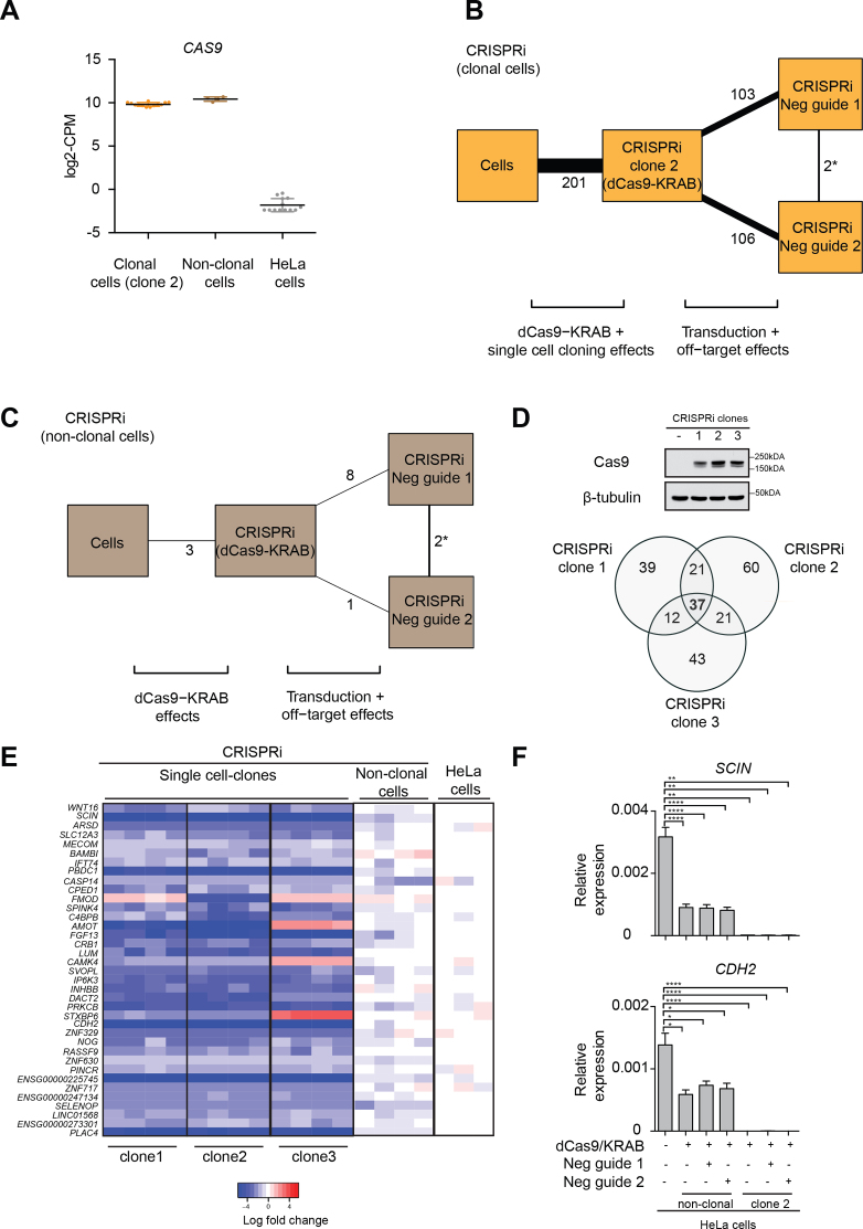 Clonal variations in CRISPRi and their associated off-target transcriptional effects. ( A ) Expression in counts-per-million (CPM) of Cas9 in CRISPRi clonal, CRISPRi non-clonal and untransduced HeLa cells. Clone 2 was used for showing Cas9 expression in CRISPRi clonal cells. ( B) Comparison of the transcriptional differences between parental HeLa untreated cells, CRISPRi clones expressing only dCas9–KRAB (clone 2) and clones treated with two negative guide RNAs (negative guide 1 and 2). The number of genes differing between each pair of treatments is labelled and shown as connecting lines of proportional thickness. ( C ) Comparison of the transcriptional differences between parental HeLa untreated cells, non-clonal CRISPRi cells expressing dCas9–KRAB and non-clonal cells treated with two negative guide RNAs (negative guide 1 and 2). The number of genes differing between each pair of treatments is labelled as described in B. ( D ) Expression of dCas9–KRAB in three different CRISPRi clones derived from single cell cloning, confirmed by immunoblot using a Cas9 antibody. β-tubulin was used as a loading control. A Venn diagram of DEGs detected in the three different clones against untransduced cells in the absence of any guide RNAs identified 37 genes as a common transcriptional signature of cloning. The total number of genes in this analysis was 18224 and DEGs were detected at a FDR of 5% with a log 2 -fold change threshold of 0.5. ( E ) Heat map of DEGs from three different CRISPRi clones compared to non-clonal cells and parental untransduced HeLa cells in the absence of any guide RNAs. 33 out of 37 genes were downregulated in clonal cells compared to the parental population. ( F ) Downregulation of two randomly selected DEGs from E ( SCIN and CDH2 ) was validated by qPCR in clonal cells (clone 2) and in non-clonal populations. Expression levels were normalized to the geometric mean of GAPDH and RPS18 . Error bars, s.e.m. ( n = 4 biological replicates). Statistical sig