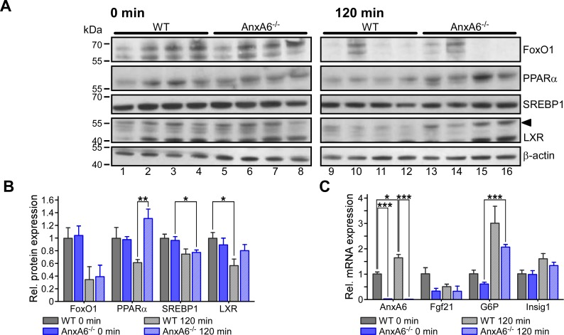 Expression of nuclear transcription factors during the PTT of HFD-fed WT and AnxA6-KO mice. (A) Nuclear fractions from liver samples from WT and AnxA6-KO (AnxA6 -/- ) mice before (0 min; WT lane 1–4, AnxA6-KO lane 5–8) and 120 min after pyruvate administration (120 min; WT lane 9–12, AnxA6-KO lane 13–16; n = 4 per group) were prepared and analyzed by western blotting for the transcription factors FoxO1, PPARα, SREBP1 and LXR. β-actin served as loading control. Molecular weight markers are shown. Arrowhead points at LXR. (B) Relative levels of FoxO1, PPARα, SREBP1 and LXR were quantified and normalized to β-actin expression. The mean values (± SEM) relative to WT at t = 0 min are shown. (C) RNA from HFD-fed WT and AnxA6-KO livers before (0 min) and 120 min after pyruvate administration was isolated (n = 4 per group). cDNA was generated and RT-PCR for AnxA6, fibroblast growth factor 21 (Fgf21), glucose-6 phosphatase (G6P) and insulin induced gene 1 (Insig1) was performed as described in Material and Methods. Relative mRNA expression was normalised to the housekeeper Tbp levels using the ΔΔCT method. The expression relative to the WT at t = 0 min is shown. * P