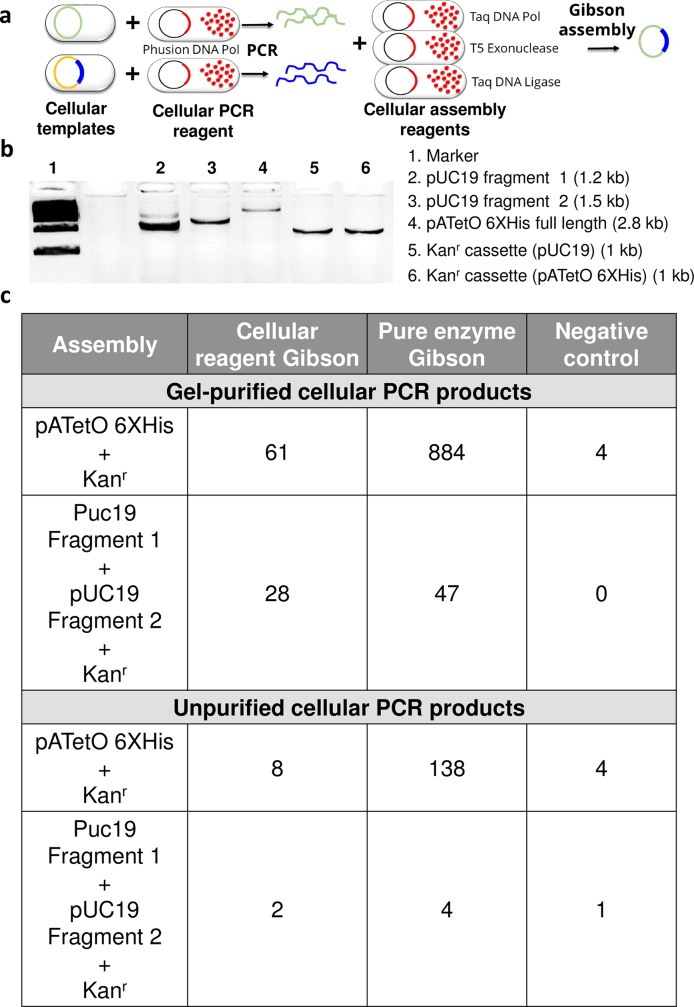 "PCR and Gibson assembly using cellular reagents. (a) Schematic depicting cellular PCR followed by cellular Gibson assembly for constructing new plasmids. Bacteria harboring target plasmids are mixed with polymerase-expressing cellular reagents and PCR is initiated by adding appropriate primers, buffer, and dNTP. The resulting PCR products are incubated with cellular reagents expressing Gibson assembly enzymes–Taq DNA polymerase, Taq DNA ligase, and T5 exonuclease–to assemble the new construct. (b) Cellular PCR amplification of vector and insert fragments directly from E . coli bacteria bearing target DNA plasmids using 2 x 10 7 cells of Phusion cellular reagents. Assembly parts include: (i) ""pATetO 6XHis full length"" vector for two part assembly with Kan r cassette bearing appropriate overlapping ends, and (ii) ""pUC19 Fragments 1 and 2"" for three part assembly with Kan r cassette whose ends overlap with pUC19 vector fragments. (c) Gibson assembly of agarose gel purified and unpurified cellular PCR products using pure or cellular Gibson assembly reagents. In ""negative control"" samples the PCR products were incubated in Gibson reaction buffer without pure or cellular Gibson enzymes. ""pATetO 6XHis + Kan r ""represents a two part Gibson assembly while ""Puc19 Fragment 1 + pUC19 Fragment 2 + Kan r "" represents a three-part Gibson assembly. Representative number of clones recovered in each case in the presence of both ampicillin and kanamycin are reported."
