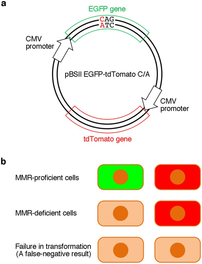 Dual detection to prevent false-negative results. ( a ) The plasmid used in this study. The tdTomato gene to be transcribed from the CMV promoter was inserted into pBSII EGFP, as shown in Fig. 4 , and a C/A mismatch was produced in the EGFP gene, in the same manner as in pBSII EGFP C/A. ( b ) Expected results of the experiments using pBSII EGFP-tdTomato C/A. When the cells are transformed with this plasmid, the tdTomato gene will be expressed, and the red fluorescence would be detected, regardless of the cellular MMR ability. The observation of this red signal indicates the successful transformation, and can be used to prevent false-negative results.