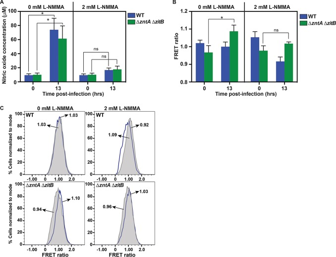 Free intracellular zinc levels increase in a Δ zntA Δ zitB S. Typhimurium mutant during macrophage infection in response to NO· production. (A) Changes in NO· production are shown at the time of infection (0 h) and 13 h postinfection in the presence or absence of the NOS inhibitor l -NMMA. IFN-γ-primed murine macrophages infected with either wild-type (blue) or Δ zntA Δ zitB (green) S. Typhimurium produced significant levels of NO· after 13 h in the absence of the NOS inhibitor l -NMMA ( P