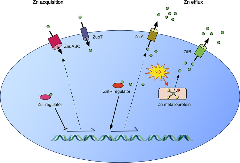 A model of zinc homeostasis in Salmonella Typhimurium. Under conditions of zinc deficiency, zinc is not available to bind to the Zur repressor, leading to expression of the ZnuABC zinc acquisition system. ZupT, whose regulation is uncharacterized, has also been shown to contribute to zinc acquisition. When zinc is abundant, Zur bound to zinc represses ZnuABC expression. In addition, free cytoplasmic zinc binds to the transcriptional activator ZntR to induce expression of the ZntA zinc efflux system. Zinc efflux in S. Typhimurium is also mediated by ZitB. Under conditions of nitrosative stress, S -nitrosylation of cysteine ligands in zinc metalloproteins leads to mobilization of free intracellular zinc. The zinc efflux activities of ZntA and ZitB are required for the resistance of S. Typhimurium to nitrosative stress.
