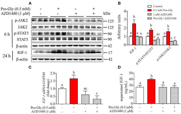Inhibition of JAK2/STAT5 signaling pathway blocked the promotive effect of Pro-Gly on IGF-1 expression and secretion in the HepG2 cells. (A) Western blot analysis of phospho-JAK2 (p-JAK2), JAK2, phospho-STAT5 (p-STAT5), STAT5 and prepro IGF-1 in HepG2 cells after 6 h or 24 h incubation in the presence of Pro-Gly (0.5 mM) and/or AZD1480 (1 μM), respectively. β-actin was used as loading control. The panels shown are the representative bands of 3 independent experiments with 6 replicates. (B) Mean ± SEM of immunoblotting bands of prepro IGF-1, p-JAK2/JAK2 and p-STAT5/STAT5 ( n = 6). The intensities of the bands were expressed as the arbitrary units. (C) IGF-1 mRNA level in HepG2 cells after 24 h incubation in the presence of Pro-Gly (0.5 mM) and/or AZD1480 (1 μM) ( n = 6). GAPDH was used as housekeeping gene. (D) Effects of Pro-Gly (0.5 mM) and/or AZD1480 (1 μM) on IGF-1 levels in the supernatant of HepG2 cells ( n = 6). Bars that do not share the same letter are significantly different ( P
