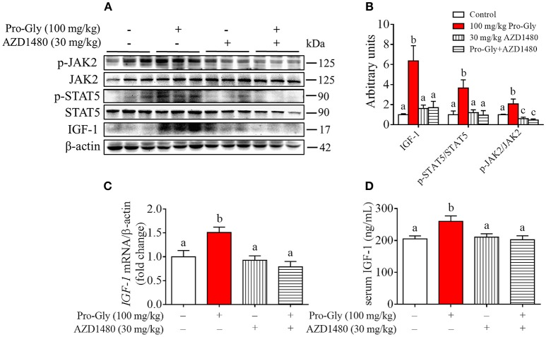 Injection of JAK2/STAT5 inhibitor abolished the promotive effect of Pro-Gly on IGF-1 expression and secretion in mice. Twenty-eight 6-week old female mice were randomly divided into 4 groups ( n = 7). (A) Western blot analysis of phospho-JAK2 (p-JAK2), JAK2, phospho-STAT5 (p-STAT5), STAT5 and prepro IGF-1 in mice liver after injection. β-actin was used as loading control. The mice were intraperitoneal injected with physiological saline (Control), Pro-Gly (100 mg/kg, 1 h), JAK2 inhibitor AZD1480 (30 mg/kg, 3 h) or Pro-Gly+AZD1480 in a volume of 100 μL, respectively. (B) Mean ± SEM of immunoblotting bands of prepro IGF-1, p-JAK2/JAK2, and p-STAT5/STAT5 ( n = 7). The intensities of the bands were expressed as the arbitrary units. (C) IGF-1 mRNA level in mice liver ( n = 7). (D) Serum levels of IGF-1 ( n = 7). Bars that do not share the same letter are significantly different ( P