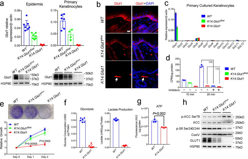 Primary Keratinocytes Showed Impaired Proliferation upon  Glut1  Deletion (a) Glut1  mRNA (n=4 mice per genotype) and protein levels in the epidermis and primary keratinocytes harvested from one week old  WT, K14.Glut1 fl/wt ,  and  K14.Glut1  mice.  (b)  Immunostaining of Glut1 in skins from one-week old mice. Glut1 staining is absent in epidermis from  K14.Glut1  mice. Arrow indicates persistence of Glut1 staining in the dermis (e.g. dermal endothelial cell). Similar results obtained in 3 independent experiments.  (c)  mRNA abundance of  Glut/SGLT  family members in primary cultured  WT, Glut1 fl/wt K14Cre , and keratinocytes from  K14.Glut1  mice (n=4 mice per genotype).  (d)  2-Deoxy-D-glucose uptake in primary cultured keratinocytes obtained from one week old  WT, K14.Glut1 fl/wt ,  and  K14.Glut1  mice with or without glucose inhibitor pretreatment. Similar results obtained in uptake assays from keratinocytes from 3 independent mice.  (e)  Growth rate as assessed by Crystal Violet staining and relative cell number in primary  WT, K14.Glut1 fl/wt , and keratinocytes from  K14.Glut1  mice. Identical numbers of cells were seeded in triplicate wells in 6 well plates at day 0. For Crystal Violet staining, cells were stained 3 days after seeding and similar results were obtained in 3 keratinocytes preparations. Keratinocytes from  K14.Glut1  mice show significantly decreased growth compared to keratinoctyes from  WT  controls at day 1 and 2 after plating.  (f)  Glucose consumption and lactate production over 12 hours as measured from the media of primary cultured  WT  and  K14.Glut1  (n=3 mice per genoptye) keratinocytes.  (g)  ATP levels (luminescence) were determined in primary keratinocytes from  WT  and  K14.Glut1  (n=3 mice per genotype) and normalized to protein levels.  (h)  Western Blot analysis of the expression of p-ACC Ser79, ACC, p-S6 Ser240/244, Glut1 in primary keratinocytes obtained from  WT, Glut1 fl/wt K14Cre  and  K14.Glut1  mice. Data shown as mea