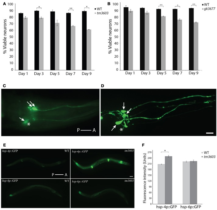 Dopaminergic neuron and ER stress phenotypes of manf-1 mutants. Quantification of dopaminergic neuronal defects in day-1 to day-9 old adults of tm3603 (A) and gk3677 (B) mutant animals. In each case wildtype (WT) animals were used as controls. Experiments performed in duplicate ± SEMs, * p