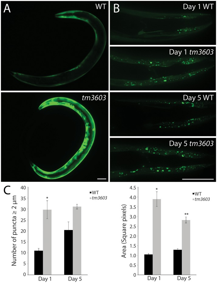 manf-1 mutants show enhanced aggregation of α-Synuclein. (A) Expression analysis of human SNCA::YFP gene within the body wall muscles of wildtype (N2) and tm3603 animals. (B) Maximum projection of Z-stack images at days 1 and 5 of adulthood showing YFP fluorescent puncta. (C) Number of puncta of diameter 2 μm and above determined by manual counting and automated analysis of total pixel area after thresholding. Experiments performed in triplicate ± SEMs, * p