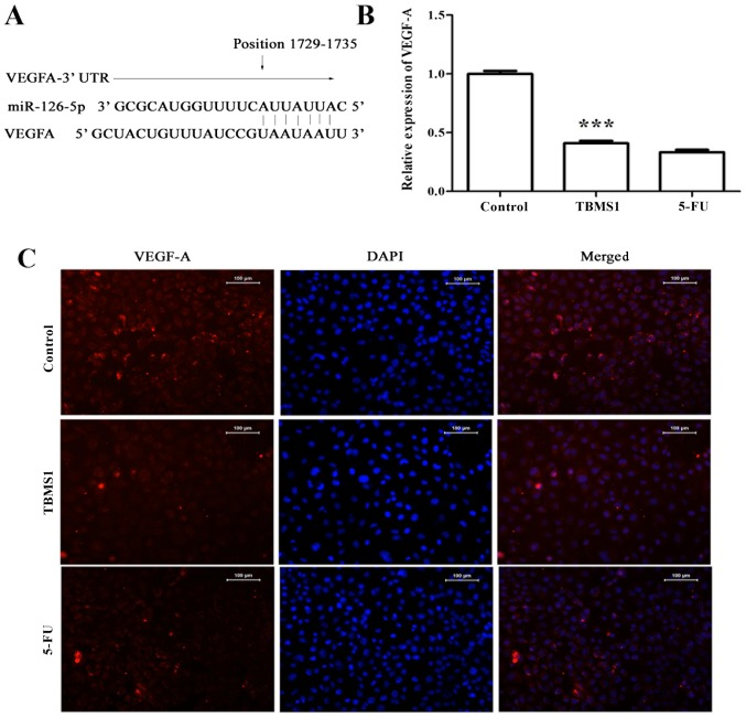 TBMS1 downregulates the expression of miR-126-5p-targeted VEGF-A (A) The 3′UTR sequence of VEGF-A and its binding site on miR-126-5p. (B) RT-PCR detection of VEGF-A mRNA expression in TBMS1-treated NCI-H1299 cells. Data in each group are expressed as mean ± SD from three independent experiments. β-actin was used as an internal control. Compared with control, ***P