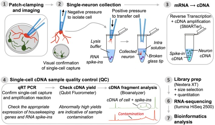 Pipeline for single-neuron Patch-seq experiments. Step 1: A single neuron is characterized at the functional and morphological level by whole-cell patch-clamp electrophysiology and imaging. Step 2: Negative pressure is applied to the patch pipette used for electrophysiological recording, after which it is retracted from the chamber batch with the neuron still attached. The entire neuron, including its processes, is immediately transferred into lysis buffer by breaking the glass patch pipette tip along the inside wall of an RNase-free collection tube. Successful cell capture is always confirmed by microscopic evaluation (comparison of before and after pictures). Step 3: Single-neuron mRNA, along with external reference transcripts (ERCC RNA spike-ins) present in the lysis buffer, is reverse transcribed and the <t>cDNA</t> is PCR-amplified using SMARTer chemistry. Step 4: The synthesized cDNA is subjected to a series of QC steps based on three assays: (i) expression profiling of common housekeeping genes and RNA spike-ins by quantitative real-time PCR; (ii) fluorometric quantitation of cDNA yield (Qubit); and (iii) qualitative analysis of cDNA fragment profiles and contamination check (Bioanalyzer). Inability to detect expression of housekeeping genes while detecting expression of ERCCs is a sign of failed neuron capture, whereas inability to detect ERCCs signifies failed SMARTer cDNA synthesis. Contaminated samples are characterized by abnormally high cDNA yields that appear on the fragment analyzer as a broader peak with jaggedness or multiple peaks in the electropherogram (see also Figure 3 ). Steps 5 and 6: Libraries for RNA-seq are prepared from samples passing all QC analyses and are sequenced on an Illumina HiSeq 2500 platform. Step 7: Bioinformatics processing and analysis of the resulting RNA-seq data enable identification of unique genetic signatures associated with specific neuronal (sub)types.