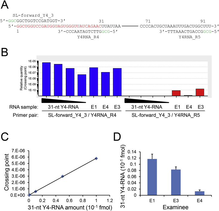 Quantitative RT-PCR. (A) Primer pairs. The sequences of the primers SL-forward_Y4_3 and <t>Y4RNA_R4</t> for amplification of the 31/32-nt Y4-RNA fragment and the sequences of the primers SL-forward_Y4_3 and Y4RNA_R5 for amplification of the full-length Y4-RNA are presented together with the sequence of Y4-RNA, a middle part of which is omitted. Three nucleotides are added to the 5′ terminus of each primer to stabilize the primer/template hybrid. (B) A representative RT-PCR data for the synthetic 31-nt Y4-RNA fragment (0.001, 0.01, 0.05, and 0.1 fmol) and saliva RNA (1 ng) from the examinees E1, E3, and E4. The right and left halves represent the data for the full-length Y4-RNA and the 31/32-nt fragment, respectively. (C) A standard curve was drawn using the RT-PCR data for the synthetic 31-nt Y4-RNA fragment. (D) Quantitation of the 31/32-nt Y4-RNA fragment in saliva RNA from the examinees E1, E3, and E4. Error bars denote standard deviations (n = 3).