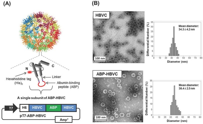 Genetic presentation of ABPs on the surface of HBVC. A) Schematic illustration of ABP‐HBVC and plasmid expression vector used in E. coli for the biosynthesis of ABP‐HBVC. B) Results of TEM and DLS analyses of purified HBVC (free of ABPs) and ABP‐HBVC.