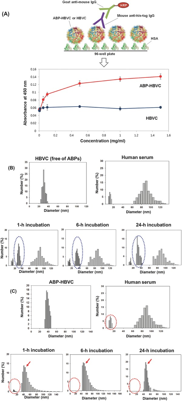 Albumin‐binding activity of ABP‐HBVC. A) Results of ELISA. B) Results of time‐course DLS analysis of the mixture of HBVC (free of ABPs) and human serum. The blue dotted circles represent the DLS peaks for HBVC. C) Results of time‐course DLS analysis of the mixture of ABP‐HBVC and human serum. The red dotted circles and arrows represent the DLS peaks for HSA and agglomerates of HSA‐ABP‐HBVC‐binding complexes, respectively.