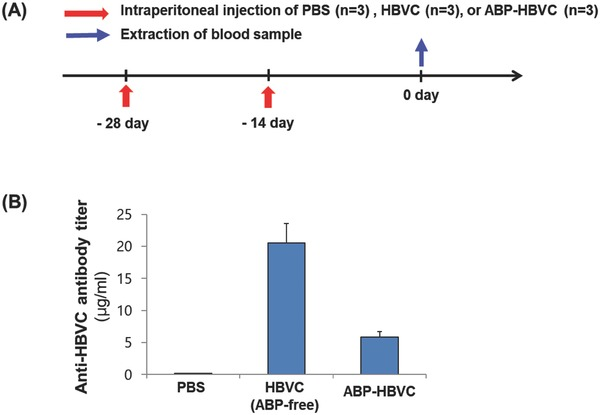 Anti‐HBVC antibody titer in live mice injected with ABP‐HBVC and HBVC (free of ABPs). A) Time schedule of intraperitoneal injection of PBS (negative control), HBVC (50 µg), and ABP‐HBVC (50 µg) to C57BL/6 mice ( n = 9). B) Results of ELISA to measure anti‐HBVC antibody (immunoglobulins except for IgM) titer in live mice of (A).