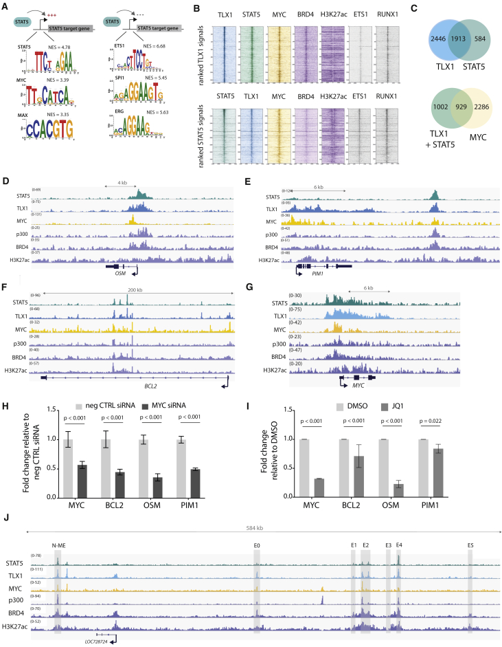 MYC Co-binds and Co-regulates STAT5 and TLX1 Target Genes (A) In silico i-CisTarget analysis for enriched transcription factor motifs found within in regulatory regions of genes that are positively or negatively regulated by STAT5. (B) Read density heatmaps of ChIP-seq signals on TLX1 binding locations for different transcription factors or epigenetic marks ranked on TLX1 signal strength (top) or STAT5 signal strength (bottom) in ALL-SIL cells. (C) Venn diagram showing the total amount of TLX1 and STAT5 peaks that fall within the 41,229 H3K27ac peaks (left) and the total amount of STAT5 + TLX1 peaks that overlap with MYC peaks (right) in ALL-SIL cells. (D–G) ChIP-seq tracks (performed on ALL-SIL cells) of STAT5, TLX1, MYC, p300, BRD4, and H3K27ac at canonical STAT5 regulated genes OSM (D), PIM1 (E), BCL2 (F), and MYC (G) loci. (H) qRT-PCR in ALL-SIL cells treated with MYC siRNAs for 48 hr. Data are presented as mean ± SD. Statistical significance calculated using unpaired two-tailed t test with equal variance. (I) qRT-PCR of STAT5 target genes in ALL-SIL cells treated with 500 nM JQ1 for 6 hr. Data are presented as mean ± SD. Statistical significance calculated using unpaired two-tailed t test with equal variance. (J) ChIP-seq tracks (performed on ALL-SIL cells) of STAT5, TLX1, MYC, p300, BRD4, and H3K27ac at the MYC enhancer locus, 1.4 Mb downstream of the MYC gene.