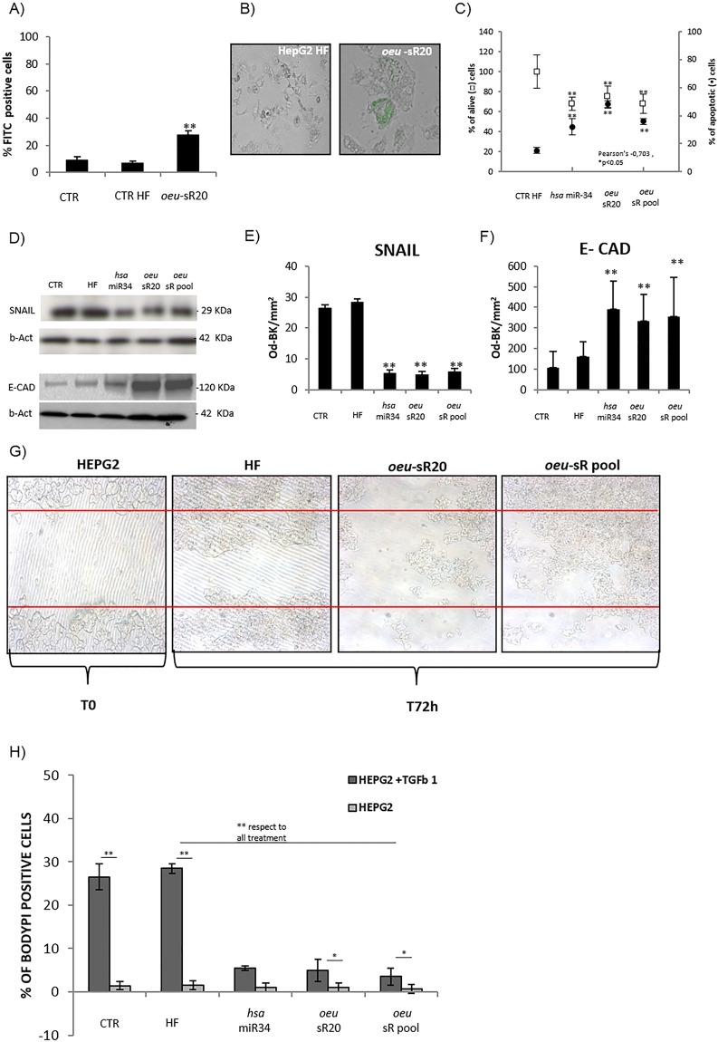 oeu- sR pool transfection effects on SNAIL protein modulation and lipid accumulation in Hepatoma cell lines. Percentage of FITC- oeu -sR20 positive HepG2 (panel A). The efficiency of miRNA transfection was confirmed by observing the fluorescent cells as they appear at fluorescence microscope in panel B. Percentage of viabilty and apoptosis in oeu -sR20, hsa -miR34 and oeu -sR pool transfected Hep-G2 (panel C). One representative western blot image of SNAIL and E-Cadherin (panel D, Figure S4 ) in HepG2 cells after transfection as well as densitometric analysis of three independent biological experiments are reported (panel E and F). The scratch test was used to detect HepG2 migration rates at 0 and 72 h after transfection. The representative microscopy picture (×40) was shown (panel G). FACS analysis of lipid accumulation induced by TGFbeta1 in HEPG2 in the presence or absence of oeu -sR20, oeu -sR pool and hsa -miR34, 72 hours post-transfection (panel H). Results are from at least three independent biological experiments. Histograms represent the mean and the bars ± S.D, **p