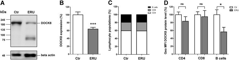 Diminished DOCK8 protein levels in PBL of ERU cases. (A) Representative signal abundances of DOCK8 in PBL of controls (left panel) and ERU (right panel) detected by western blot. DOCK8 signal abundance in PBL of diseased specimen was decreased compared to controls. Lower molecular extra bands result from further reactivities of the polyclonal rabbit anti DOCK8 antibody. (B) Compared to healthy controls (n = 16), DOCK8 levels in ERU PBL (n = 36) were significantly (***p ≤ 0.001) decreased to 63% of physiological expression rate (set to a 100%). All protein abundances of DOCK8 were normalized to beta actin. (C) Analyzes of lymphocyte subset composition in healthy controls and autoimmune cases revealed no significant differences. (D) Statistical analysis of DOCK8 expression differences in lymphocyte subsets of healthy controls (white bars; n = 13) and ERU cases (grey bars; n = 12). DOCK8 expression intensity (geo MFI) was decreased in all lymphocyte subsets of ERU cases. In CD8 + T cells, no considerable DOCK8 expression difference between control PBL and ERU cases could be detected, whereas in CD4 + T cells of ERU horses, geo MFI was reduced to 85% compared to healthy controls. In B cells of autoimmune cases, a significant decrease of DOCK8 geo MFI to 57% was detected (*p ≤ 0.05).