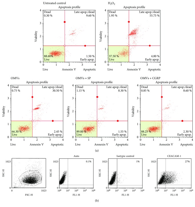 Flow cytometric analysis of antiapoptotic effects of SP and CGRP towards A549 cell death induced by M. catarrhalis OMVs. (a) The A549 cells were treated with various stimulants for 24 h of incubation, processed, stained with Annexin V and PI antibodies, and analyzed using Muse Cell Analyzer (Merck). The upper panel refers to untreated control cells and positive control (5 mM H 2 O 2 ). The lower panel refers to the cells treated with OMVs 100 μ g/ml alone or in the presence of 10 −8 M of SP or CGRP. Representative data from at least two independent experiments are shown. (b) Cell surface expression of CEACAM1 in A549 obtained from 1-day postconfluent phase of growth. A549 cells were stained for CEACAM1 with mAb clone 283340 as primary antibody or isotype-matched control followed by Alexa Fluor 488-conjugated goat anti-mouse IgG superclonal secondary antibody. Subsequently, samples were measured by FACs. The data shown are representative of two independent but essentially the same experiments performed in duplicates.