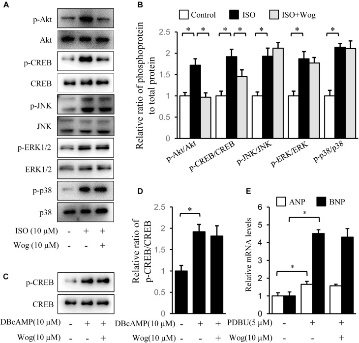 Wogonin inhibits the Akt signaling pathway initiated by isoprenaline treatment. H9c2 cells were cultured in DMEM containing 1% FBS and 1 μM RA for 5-day differentiation. (A) Differentiated H9c2 cells were treated with isoprenaline (10 μM) and/or wogonin (10 μM) with indicated dose for 24 h. Cell extracts were blotted by antibodies against pAkt, Akt, pCREB, CREB, pJNK, JNK, pERK1/2, ERK1/2, pP38 and P38. (B) Quantitation of phosphoprotein to total protein ( n = 3). (C) Differentiated H9c2 cells, pretreated with wogonin (10 μM) for 15 min, then were incubated with DBcAMP (10 μM) for another 15 min. Cell extracts were blotted by antibodies against p-CREB and CREB. (D) Quantitation of p-CREB to CREB ( n = 3). (E) Differentiated H9c2 cells were treated with wogonin (10 μM) and PDBU (5 μM) for 24 h. The mRNA levels of ANP and BNP were determined by RT-qPCR ( n = 5). Data are given as mean ± SEM; ∗ p