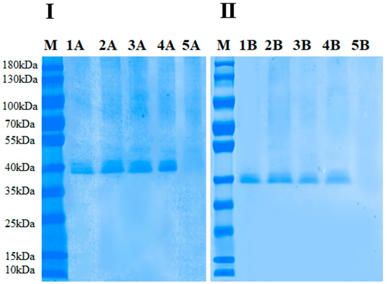 ( I ) <t>SDS-PAGE</t> analysis of the <t>PPO</t> protein: M: Marker, 1A: native PPO, 2A: 25 °C-treated protein (thermal treatment), 3A: 25 °C-treated protein (HPCD treatment), 4A: 65 °C-treated protein (thermal treatment), 5A: 65 °C-treated protein (HPCD treatment); ( II ) Native PAGE analysis of PPO protein: M: Marker, 1B: native PPO, 2B: 25 °C-treated protein (thermal treatment). 3B: 25 °C-treated protein (HPCD treatment), 4B: 65 °C-treated protein (thermal treatment), 5B: 65 °C-treated protein (HPCD treatment).
