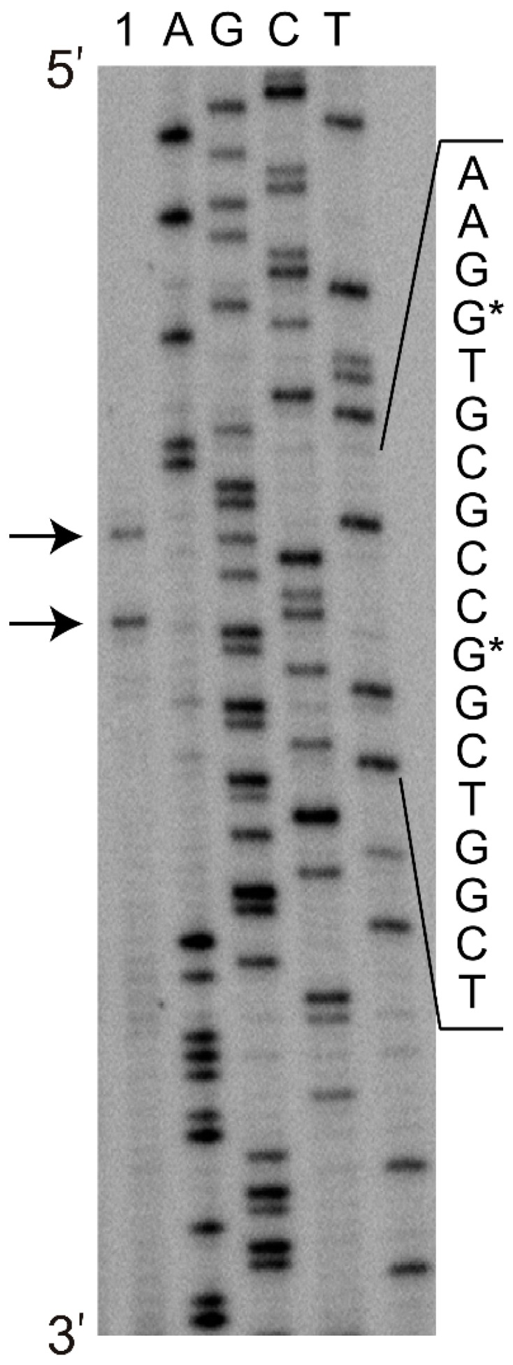 Determination of the transcription start site by primer extension analysis using the total RNA from R. jostii TMP1 harbouring the pART3-5′UTR-gfp plasmid. The extended product was analysed alongside a DNA sequencing reaction, using the same primer. The transcription initiation sites are indicated by arrows, and the corresponding nucleotides in the DNA sequence are marked by asterisks.