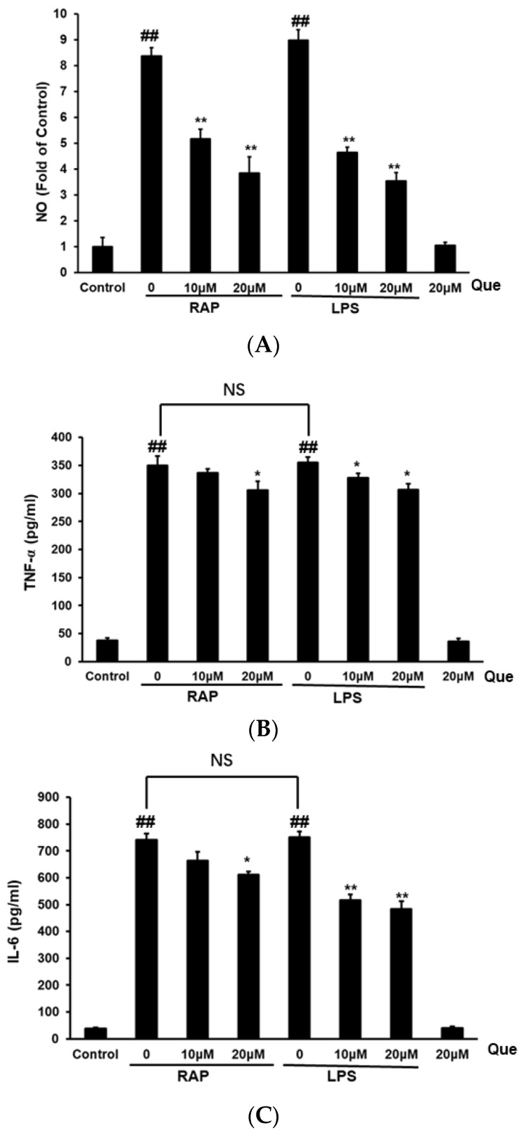 Effects of quercetin on nitric oxide (NO) ( A ), TNF-α ( B ) and IL-6 ( C ) production in RAP- and LPS-induced RAW264.7 macrophages. RAW264.7 cells were incubated with quercetin (10, 20 μM) and then treated with RAP (100 μg/mL) or LPS (100 ng/mL) for 24 h. Data from the experiments are expressed as mean ± SD (## p