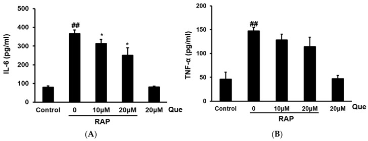 Effects of quercetin on IL-6 ( A ) and TNF-α ( B ) production in RAP-induced peritoneal macrophages. Peritoneal macrophages cells were incubated with quercetin (10, 20 μM) and then treated with RAP (100 μg/mL) for 24 h. Data from the experiments are expressed as mean ± SD (## p
