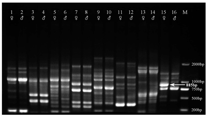 Part of the RAPD screening products of bulk DNA from each of the 140 male and female H. rhamnoides samples via decamer primers (Lanes 1, 3, 5, 7, 9, 11, 13, and 15: female; Lanes 2, 4, 6, 8, 10, 12, 14, and 16: male). The female-specific 885 bp band is indicated with an arrow. M, DNA Marker DL2000 (Takara, Dalian, China).