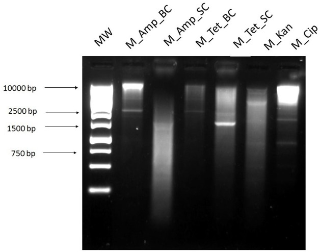Digested plasmid DNA extracted from E. coli transformants after electroporation with the phi29 polymerase amplified DNA. 1 , 1 kb ladder; Plasmid DNA extracted from transformants selected on agar plates containing; 2 , ampicillin 32 mg/L (M_Amp_BC); 3 , ampicillin 32 mg/L (M_Amp_SC); 4 , tetracycline 16 mg/L (M_Tet_BC); 5 , tetracycline 16 mg/L (M_Tet_SC); 6 , kanamycin 25 mg/L (M_Kan); 7 , ciprofloxacin 16 mg/L (M_Cip). BC and SC refer to the two different colony morphology types, big or small colonies, on the same antibiotic plate.