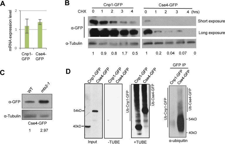 Cse4 is subject to efficient ubiquitin-dependent degradation in the fission yeast. A, RT-PCR analysis of cells expressing Cnp1-GFP or Cse4-GFP. Total RNA extracted from cells overexpressing Cnp1-GFP or Cse4-GFP was used. Cnp1-GFP or Cse4-GFP transcripts were analyzed with primers specific for GFP. Actin was used as an internal control. B, Lysates from cells collected at indicated time points (hrs) following cycloheximide treatment were analyzed by western blotting with an anti-GFP antibody. C, Cse4 level is enhanced after proteasome inactivation in fission yeast. Cells overexpressing Cse4-GFP in wild type or mts2-1 background were incubated at 37°C for 4 hours, and were subject to western blot analysis using an anti-GFP antibody. Tubulin was used as a loading control. D, Extracts from cells expressing indicated proteins were split, and subject to TUBE pull-down and reverse pull-down assays, respectively. For TUBE pull-down assays, extracts were immunoprecipitated with tandem ubiquitin-binding entities (+TUBE), or control Argarose beads (-TUBE), followed by western blot analysis using an anti-GFP antibody. For reverse pull-down assays (right panel), extracts were immunoprecipitated with an anti-GFP antibody, then analyzed by western blotting using a pan ubiquitin antibody. Induction time: 20 hours for Cnp1-GFP; 24 hours for Cse4-GFP.