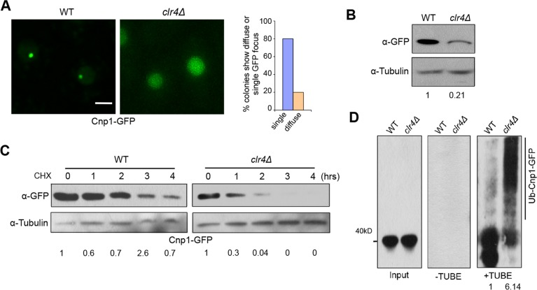 Heterochromatin promotes centromeric targeting of Cnp1 by preventing ubiquitin-mediated degradation. A, clr4 Δ colonies expressing Cnp1-GFP under its native promoter obtained by crossing exhibited a diffuse GFP signal or single focus. (Right) Percentage of colonies displaying diffuse GFP or a single focus, and quantifications were based on random colony analysis. Scale bar: 2 μm. B, Western blot analysis of clr4 Δ cells expressing Cnp1-GFP. WT was used as control. C, Stability assays for WT and clr4 Δ cells expressing Cnp1-GFP. D, Extracts from indicated cells were analyzed by TUBE assays. C,D, Induction time:20 hours for WT and 22 hours for clr4 Δ.
