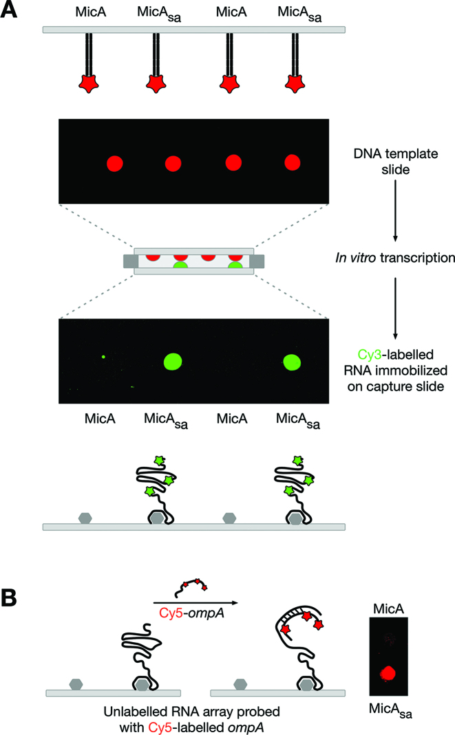 Production of a low-density functional MicA sa RNA array. ( A ) Generation of a Cy3-labelled MicA sa RNA array using a DNA template array of Alexa647-labelled MicA and MicA sa . ( B ) A non-labelled MicA sa RNA array (generated as in (A) but without labelling) probed with Cy5-labelled ompA .