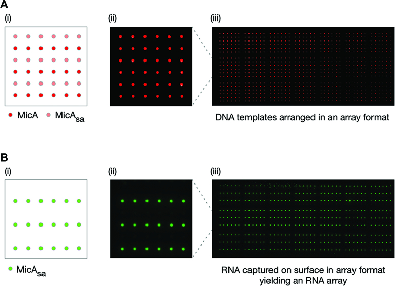 Production of a high-density MicA sa RNA array. ( A ) Preparation of a high-density DNA template array of MicA and MicA sa . (i) Schematic layout of a single 6 × 6 grid with alternating rows of MicA and MicA sa templates. (ii) A single 6 × 6 grid of a DNA template array of Alexa647-labelled MicA and MicA sa . Individual spots were separated by 750 μm. (iii) The entire DNA template array of 21 repeating 6 × 6 grids as shown in (ii). ( B ) Production of a high-density MicA sa RNA array from the DNA template array described in (A). (i) Schematic of the expected layout of a single grid of the MicA sa RNA array. (ii) A single grid of the Cy3-labelled MicA sa RNA array. (iii) The entire MicA sa RNA array of 21 repeating grids as shown in (ii). The RNA array images have been mirror imaged so that the spot positions correspond to those shown in the schematics of the DNA template array.