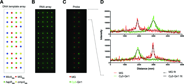 Simultaneous screening of a high-density multi-RNA array with multiple probes. ( A ) Schematic of a DNA template array of repeating 4 × 4 grids of MicA sa , hapR sa , MG sa and ompA sa templates that was prepared using an automated arrayer with individual spots separated by 1250 μm. ( B ) The generated four-RNA array of Cy3-labelled MicA sa , hapR sa , MG sa and ompA sa . ( C ) A non-labelled MicA sa , hapR sa , MG sa and ompA sa RNA array (generated as in (B) but without labelling) probed with 3 μM Cy3-labelled Qrr1 and 20 μM malachite green. The labelled (B) and probed (C) RNA array images have been mirror imaged so that the spot positions correspond to those shown in the schematic of the DNA template array (A). ( D ) Spot profiles for the first two rows of the probed RNA array shown in ( C ). The red and green lines are the spot profile data for malachite green and Qrr1, respectively. The dashed black lines are the least-squares minimization of a function describing the sum of two co-incident Gaussian distributions (one for the main peak, and one for weak signal broadening due to diffusion of non-specifically bound probe):- \documentclass[12pt]{minimal} \usepackage{amsmath} \usepackage{wasysym} \usepackage{amsfonts} \usepackage{amssymb} \usepackage{amsbsy} \usepackage{upgreek} \usepackage{mathrsfs} \setlength{\oddsidemargin}{-69pt} \begin{document} }{}$f\;( x ) = \mathop \sum \limits_{i = 1}^2 {a_i}\;{\rm{exp}}\left( { - \frac{{{{( {x - {\rm{\mu_i }}} )}^2}}}{{2\sigma _i^2}}}\right)$\end{document} where \documentclass[12pt]{minimal} \usepackage{amsmath} \usepackage{wasysym} \usepackage{amsfonts} \usepackage{amssymb} \usepackage{amsbsy} \usepackage{upgreek} \usepackage{mathrsfs} \setlength{\oddsidemargin}{-69pt} \begin{document} }{}$f( x )$\end{document} is the fluorescence intensity at position x , and \documentclass[12pt]{minimal} \usepackage{amsmath} \usepackage{wasysym} \usepackage{amsfonts} \usepackage{amssymb} \usepackage{amsbsy} \usepackage{upgreek} \usepac