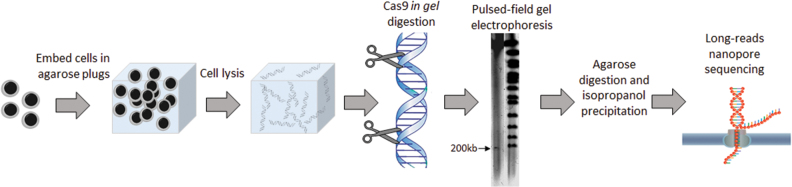 Schematic representation of the CATCH method. Peripheral blood mononuclear cells were embedded in an agarose gel-plug and lysed. Genomic DNA was cleaved in the plug using guided Cas9, and the target DNA was separated by PFGE. The desired band (indicated by an arrow) was excised from the gel, and the DNA was isolated, purified and analyzed.