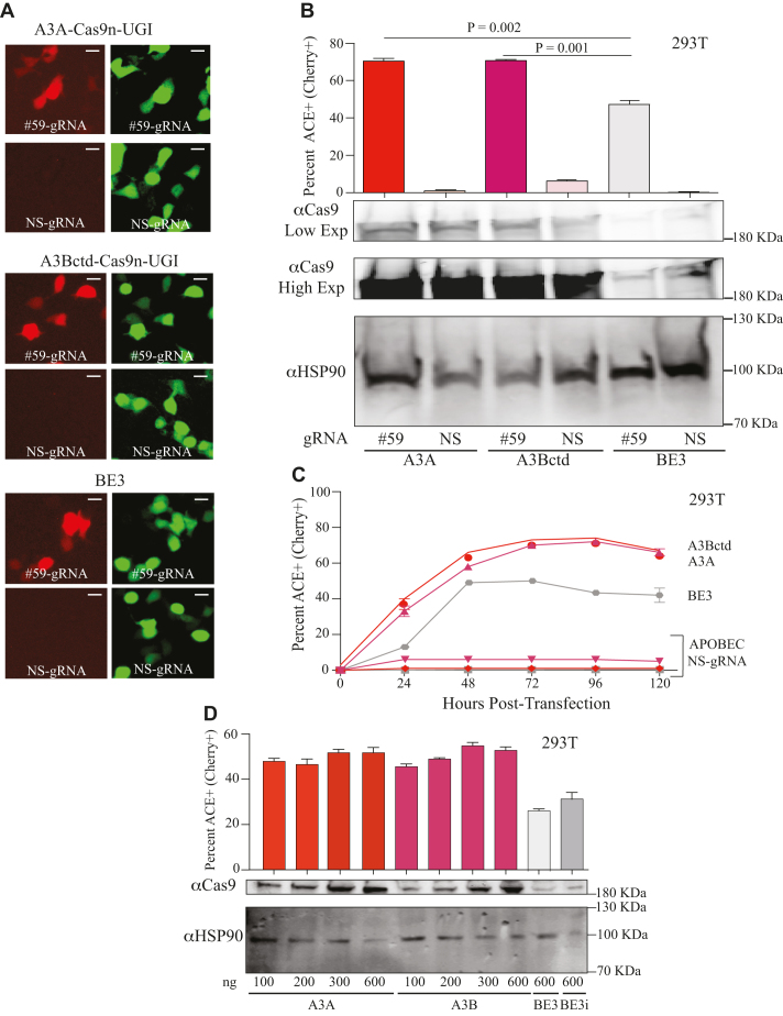 High-efficiency editing by human A3A and A3Bctd editosomes. ( A ) Representative fluorescence microscopy images of ACE-activated, mCherry-positive 293T cells catalyzed by human A3A, human A3Bctd, or rat APOBEC1/BE3 editosomes (mCherry codon 59-directed gRNA versus NS-gRNA; inset white bar = 30 μm). ( B ) Quantification of the experiment in panel 'A' together with 2 independent parallel experiments ( n = 3; average ± SD). The corresponding immunoblots of expressed APOBEC–Cas9n-UGI constructs are shown below (low and high exposures to help visualize BE3) with HSP90 as a loading control. ( C ) Time course of ACE activation in 293T cells catalyzed by human A3A, human A3Bctd, or rat APOBEC1/BE3 editosomes (mCherry codon 59-directed gRNA versus NS-gRNA; n = 3; mean ± SD; error bars smaller than symbols are not shown). ( D ) Titration data for 293T cells co-transfected with the ACE reporter, mCherry codon 59-directed gRNA, and different amounts of the indicated editosome constructs (100–600 ng; n = 3; mean ± SD). BE3i has an intron in the rat APOBEC1 portion of the construct, identical to the intron required for propagation of A3A and A3Bctd constructs in E. coli and for expression in mammalian cells.