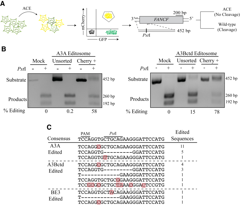 ACE enriches for base-editing events at heterologous genomic loci. ( A ) Schematic of a co-transfection experiment resulting in ACE reporter activation (yellow shading represents mCherry and eGFP double-positive cells). FANCF and the Pst I restriction assay used to quantify chromosomal base editing of this locus. Base editing events destroy the Pst I cleavage site and block cleavage of the 452 bp amplicon into 260 and 192 bp products. ( B ) Representative agarose gels images showing the results of FANCF base editing by A3A and A3Bctd editsomes in 293T cells. The percentage of base editing was calculated by dividing the percentage of substrate band by the total of substrate and product bands following Pst I cleavage for both unsorted and mCherry-positive cell populations. ( C ) Sanger sequencing results for the gRNA-binding region of the FANCF gene, which was recovered by high-fidelity PCR using genomic DNA from mCherry-positive 293T. Mutated nucleotides are highlighted in red and deleted nucleotides are indicated by hyphens. The number of times each sequence was recovered is indicated to the right.