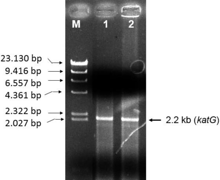 PCR product in agarose gel electrophoresis. M, Marker DNA λ/ Hind III (M); lane 1 and 2, represented the DNA fragment (2,2 kb) that resulted by PCR using the genome of M. tuberculosis H37RV and INH-resistant M. tuberculosis R2 as templates respectively. The DNA fragment of 2.2 kb corresponds to the katG gene.