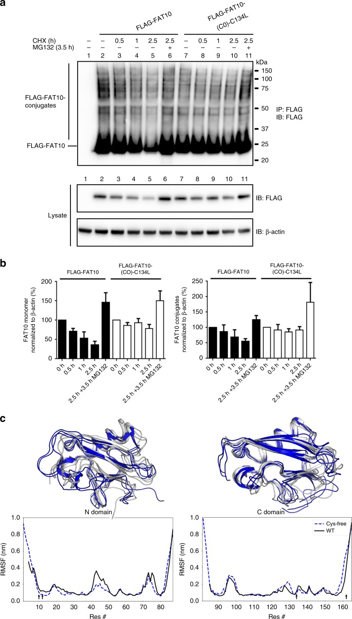 Cys-replacement stabilizes FAT10 and its conjugates in vivo. a HEK293 cells expressing WT or Cys-free FLAG-tagged FAT10 were treated for 0.5, 1, or 2.5 h with 50 µg/mL CHX to monitor degradation rates. In addition, cells were treated with 10 µM proteasome inhibitor MG132 for 3.5 h, as indicated. Cells were harvested, lysed, and subjected to immunoprecipitation using EZview Red anti-FLAG-M2 affinity gel. Proteins were separated on 4–12% NUPAGE gradient gels and subjected to western blot analysis using a directly peroxidase-labeled, monoclonal FLAG-reactive antibody (clone M2). β-actin was used as loading control. One representative experiment out of four independent experiments with similar outcomes is shown. b ECL signals were quantified and graphs show the amount of monomeric as well as of conjugated WT or Cys-free FLAG-FAT10 normalized to the amount of β-actin in the lysate. The values of the untreated cells were set to 100% and the other values were calculated accordingly. Shown are the values of four independent experiments with similar outcomes as means ± s.e.m. c Molecular dynamics (MD) simulations of the N- (left) and C-domain (right) of human FAT10. Top panels: three of the most prominent structures obtained by root mean square deviation clustering from each MD simulation in cartoon representation (WT: white, Cys-free: blue). Bottom panels: Residue-wise root mean square fluctuation (RMSF) values. Arrows in the graph show position of cysteine mutations. N- and C-terminal tails are flexible. Moreover, flexibility is decreased in the N-domain in Cys-free mutants while the overall structure of both domains is preserved
