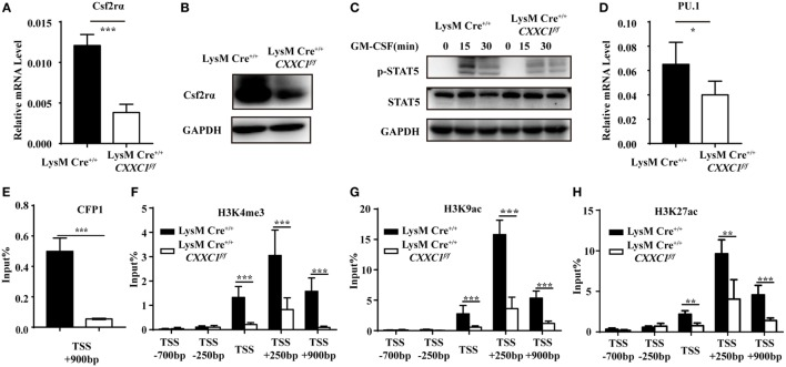 Cxxc finger protein 1 (CFP1) bound to the Csf2rα promoter region and was associated with H3K4me3, H3K9ac, and H3K27ac. (A,B) The expression of Csf2rα at the mRNA (A) and protein (B) level in wild-type (black rectangle) and CFP1-deficient (white rectangle) macrophages. (C) Immunoblot analysis of phosphorylated (p-) STAT5 and total STAT5 and GAPDH in wild-type and CFP1-deficient macrophages stimulated for 0–30 min (upper lanes) with GM-CSF (10 ng ml −1 ). (D) The expression of PU.1 at the mRNA level in wild-type (black rectangle) and CFP1-deficient (white rectangle) macrophages. (E–H) Chromatin immunoprecipitation analysis of endogenous CFP1 (E) , H3K4me3 (F) , H3K9ac (G) , H3K9ac (H) in wild-type (black rectangle) and CFP1-deficient (white rectangle) macrophages, followed by real-time PCR analysis for specific enrichment of each modification at the Csf2rα promoter. The primer positions are relative to the TSS of Csf2rα. The mean and SD of four independent experiments are shown. * P