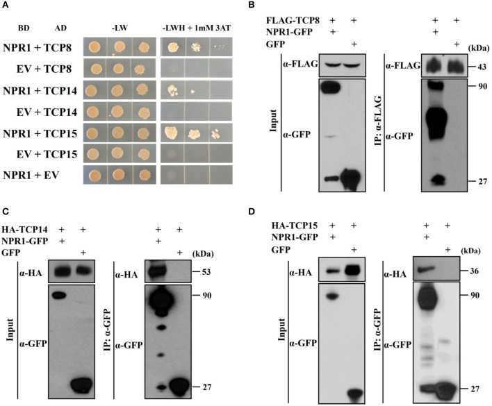 TCP8, TCP14, and TCP15 interact with <t>NPR1.</t> (A) Interactions between NPR1 with TCP8, TCP14, and TCP15 in yeast two-hybrid assays. Diploid yeast cells were serially diluted at OD 600 = 1.0, 0.1, and 0.01. Aliquots of 10 μL of each dilution were plated on double synthetic dropout control plates without leucine and tryptophan (-LW) and selective triple synthetic dropout plates without leucine, tryptophan, and histidine with 1 mM 3-amino-1,2,4-triazole (–LWH + 1 mM 3AT). Photographs were taken 5 days after plating. EV, Empty vector; BD, GAL4 DNA-binding domain; AD, GAL4 activation domain. (B) Co-immunoprecipitation (Co-IP) of NPR1 with TCP8 in Nicotiana benthamiana . <t>NPR1-GFP</t> and FLAG-TCP8 under control of the cauliflower mosaic virus (CMV) 35S promoter were transiently co-expressed in N . benthamiana by agroinfiltration. Total protein extracts were immunoprecipitated with anti-FLAG M2 magnetic beads. The input and immunoprecipitated protein were analyzed by immunoblot using the anti-FLAG and anti-GFP antibodies. kDa, kilodaltons. (C,D) Co-IP of TCP14 and TCP15 with NPR1 in N . benthamiana . Constitutively expressed NPR1-GFP was transiently co-expressed with HA-TCP14 (C) and HA-TCP15 (D) under control of the CMV 35S promoter in N . benthamiana by agroinfiltration. Total protein extracts were immunoprecipitated using anti-GFP trap beads. The input and immuno-precipitated proteins were analyzed by immunoblot using anti-HA and anti-GFP antibodies.