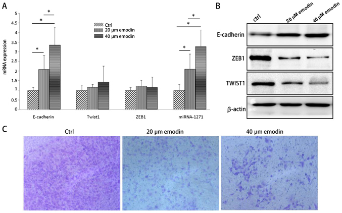 Effect of Emodin on the level of miR-1271 and EMT marker in SW1990 cells. (A) The expression of miRNA-1271, E-cadherin, ZEB1 and TWIST1 in pancreatic cancer cells were detected by qRT-PCR. (B) The protein content of EMT-related markers E-cadherin, ZEB1 and TWIST1 in pancreatic cancer cells was detected by western-blot assay. (C) Transwell chamber model was used to detect the change of invasion ability of pancreatic cancer cells in each experimental group. Magnification, ×100. *P
