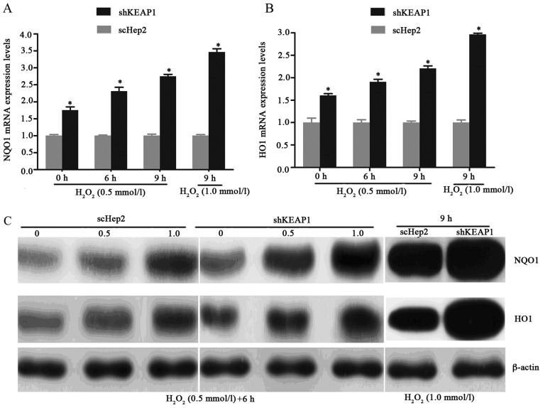 Effect of KEAP1 knockdown on H 2 O 2 -induced alterations in the expression of NQO1 and HO1. mRNA levels of (A) NQO1 and (B) HO1 within shKEAP1 Hep2 cells were increased in a dose- and time-dependent manner following exposure to H 2 O 2 . KEAP1 knockdown upregulated the expression levels of NQO1 and HO1 compared with in scHep2 cells. *P