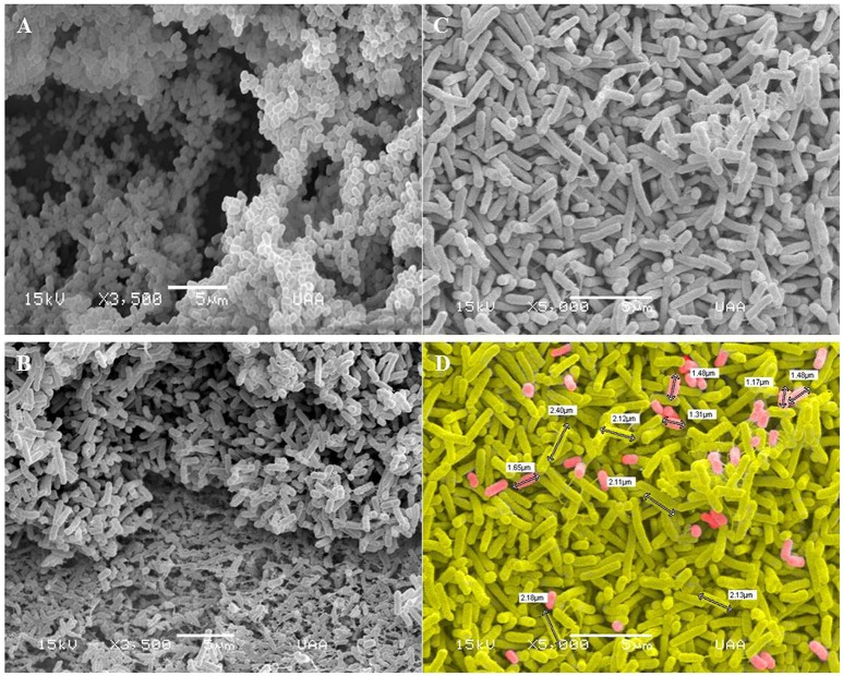 Scanning electron microscopy images of biofilms formed by A. pleuropneumoniae and E. coli . Mono-species and two-species biofilms constituted by (A) A. pleuropneumoniae (719), (B) E. coli (ATCC 25922) (Magnification: 3500x) and (C–D) A. pleuropneumoniae and E. coli (719 and ATCC 25922 respectively) (Magnification: 5000x). Fimbria- and curli-like structures in biofilms formed by E. coli and E. coli - A. pleuropneumoniae are indicated. (D) shows the sizes of bacteria (white labels); cells were painted to distinguish the two apparent populations of bacteria. Scale bar 5 μm.