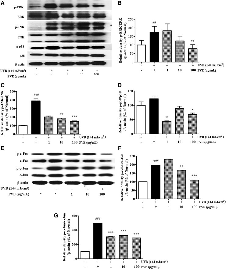 Inhibitory effect of PVE on MAPKs (A–D) and AP-1 (E–G) . NHDFs were irradiated with UVB (144 mJ/cm 2 ) followed by treatment with PVE (1, 10, 100 μg/mL) for 1.5 hours. Phosphorylation and nonphosphorylation of JNK, ERK, p38, c-Fos, and c-Jun were measured. The band intensities were quantified by densitometry, normalized to the level of β-actin, and calculated as the percentage of the basal response. Values are mean ± SD. ## p