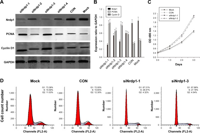 Knockdown of Nrdp1 suppresses cell proliferation and altered cell-cycle progression in L02 cells. ( A ) Western blotting shows that the expression of Nrdp1, Cyclin D1, and PCNA decline in L02 cells treated with siRNA targeting Nrdp1, compared with a negative control and mock siRNA treatments. ( B ) Bar chart shows the ratio of Nrdp1, Cyclin D1, and PCNA to GAPDH as measured by densitometry. ( C ) The CCK-8 assay was used to measure cell proliferation. L02 cells treated with siNrdp1-1 and siNrdp1-3 exhibit significantly enhanced proliferation. Absorbance was used to examine proliferation at each indicated time (0, 1, 2, and 3 days). ( D ) Cell-cycle analysis shows that knockdown of Nrdp1 by siNrdp1-1 and siNrdp1-3 delays the G1–S transition and arrests cells in the G1 phase of L02 cells, as shown by flow cytometry. Data are shown as mean ± SD for three experiments. Abbreviations: Nrdp1, neuregulin receptor degradation protein-1; CON, negative control; Mock, mock siRNAtreatments; GAPDH, glyceraldehyde-3-phosphate dehydrogenase; PCNA, proliferating cell nuclear antigen.